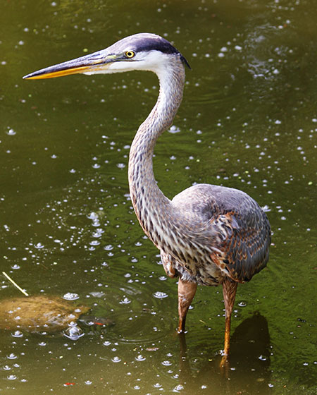 Great Blue Heron at Brookside Gardens