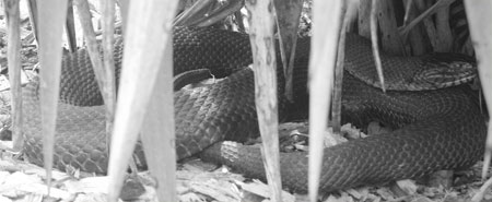 Rat snake in the bushes at Brookside Gardens