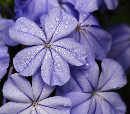 Water drops on a purple flower
